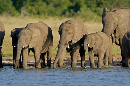 pozo de agua: Manada de los elefantes africanos (africana de Loxodonta) en un waterhole, parque nacional de Hwange, Zimbabwe