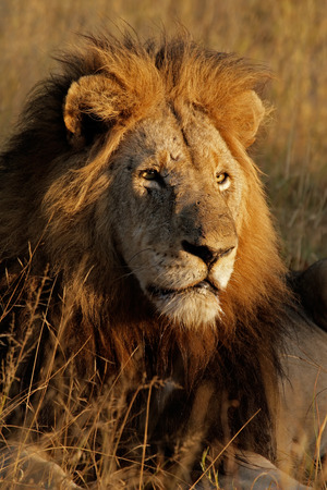 Portrait of a big male African lion (Panthera leo), Sabie-Sand nature reserve, South Africa Stock Photo - 1584209