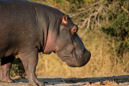 Hippopotamus (Hippopotamus amphibius), Sabie-Sand nature reserve, South Africa Stock Photo - 1584202