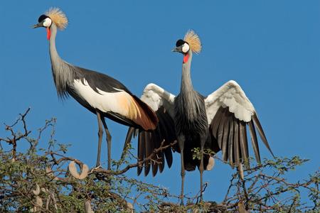 zimbabwe: Viendo gr�as coronada (Balearica regulorum), el Parque Nacional Hwange, Zimbabwe, el sur de �frica