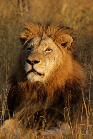 Portrait of a big male African lion (Panthera leo), Sabie-Sand nature reserve, South Africa photo