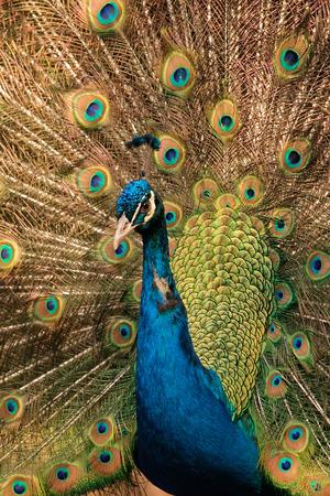 pavo: Colorful male peacock (Pavo cristatus) displaying  Stock Photo