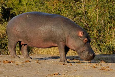 Hippopotamus (Hippopotamus amphibius), Sabie-Sand nature reserve, South Africa Stock Photo - 1827673