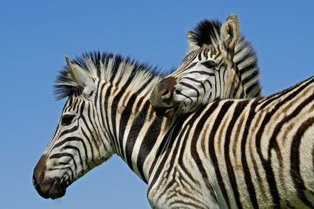cebra: Dos Plains (Burchells) Zebra (Equus quagga), el Parque Nacional de Mokala, Sud�frica