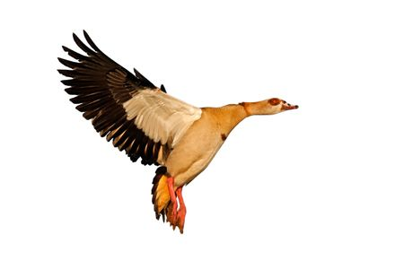 alopochen: Egyptian goose (Alopochen aegyptiacus) in flight, isolated on white