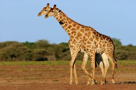Two giraffes (Giraffa camelopardalis), Etosha National Park, Namibia, southern Africa Stock Photo - 1931006