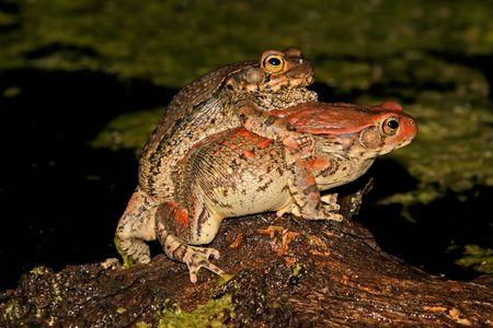 anuran: Mating red toads (Schismaderma carens), South Africa  Stock Photo