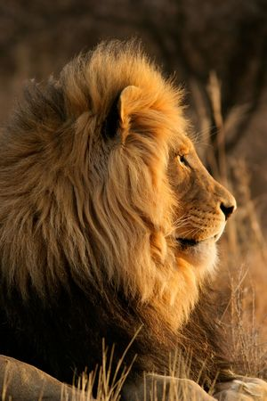 Portrait of a big male African lion (Panthera leo), South Africa Stock Photo - 2033245