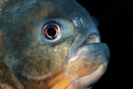 Portrait of a piranha fish  photo