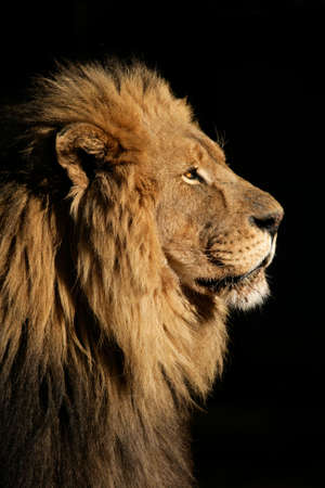 Side portrait of a big male African lion (Panthera leo), against a black background, South Africa Stock Photo
