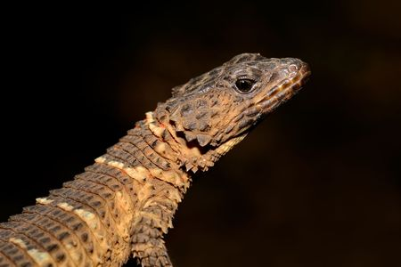 insectivorous: Girdled lizard (Cordylus spp.) against a dark background, South Africa