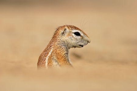 Desert dwelling ground squirrel (Xerus inaurus), Kalahari, South Africa  photo