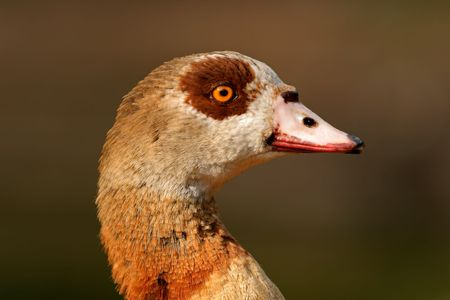 alopochen: Portrait of an Egyptian goose (Alopochen aegyptiacus), South Africa