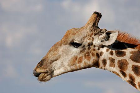 Close-up portrait of a giraffe (Giraffa camelopardalis), Kalahari, South Africa Stock Photo - 2275717