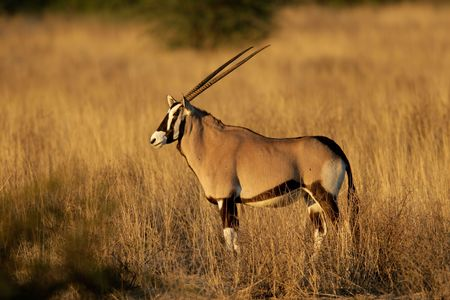 herbivore natural: Gemsbok antelope (Oryx gazella), Kalahari desert, South Africa  Stock Photo
