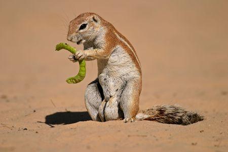 Ground squirrel (Xerus inaurus) feeding on a pod of a tree, Kalahari, South Africa  photo