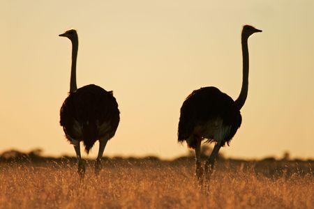 unspoiled: Avestruces (Struthio camelus) a primera hora de la ma�ana la luz, del desierto de Kalahari, Sud�frica