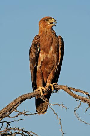 aquila: Tawny eagle (Aquila rapax) perched on a branch, Kalahari, South Africa Stock Photo