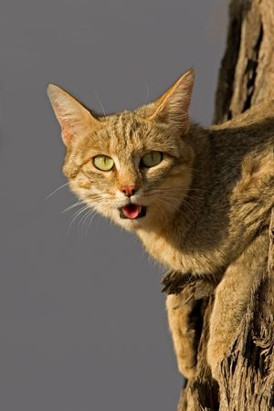 kalahari desert: An African wild cat (Felis silvestris lybica) lying in a tree, Kalahari desert, South Africa Stock Photo