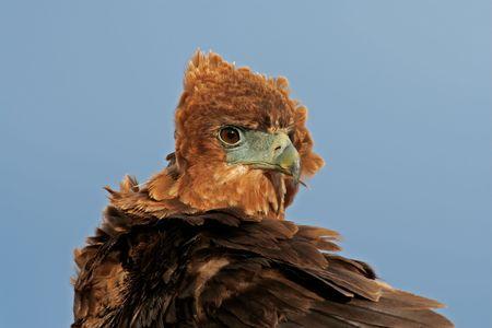 Portrait of a young, immature Bateleur (Terathopius ecaudatus) , Kalahari, South Africa Stock Photo - 2375180
