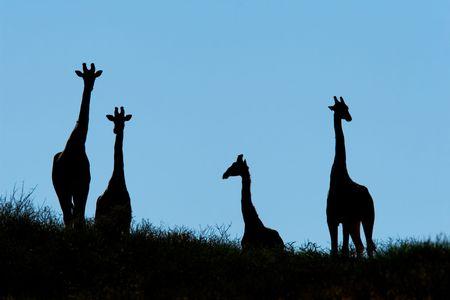 Silhouette of giraffes on a dune (Giraffa camelopardalis) Kalahari desert, South Africa Stock Photo - 2375171