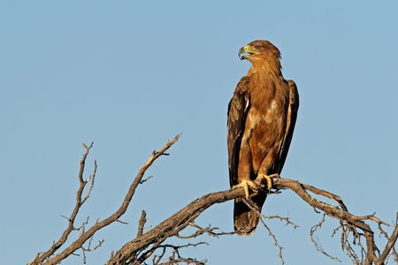 eagle feather: Tawny eagle (Aquila rapax) perched on a branch, Kalahari, South Africa Stock Photo