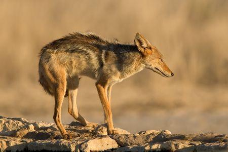A black-backed Jackal (Canis mesomelas)  in defensive posture, Kalahari desert, South Africa