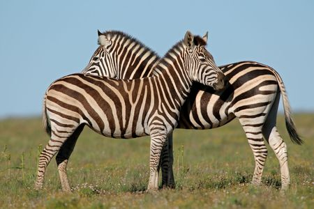 plains: Two Plains (Burchell�s) Zebras (Equus quagga), South Africa