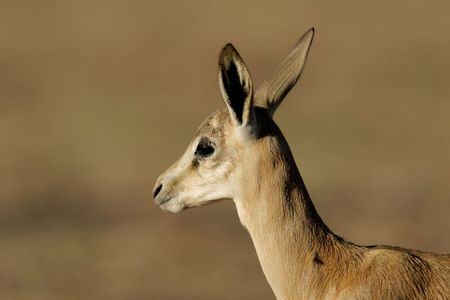 marsupialis: Portrait of a young springbok lamb (Antidorcas marsupialis), Kalahari desert, South Africa  Stock Photo