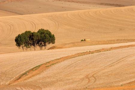 cropland: Landscape with undulating wheat fields after the harvest
