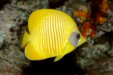 Underwater view of a Yellow butteflyfish (Chaetodon semilarvatus) Stock Photo - 2409819
