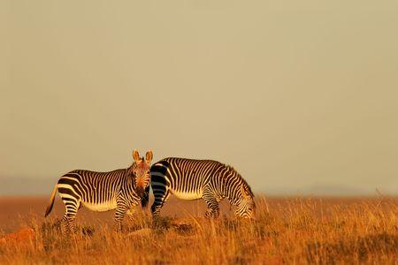 unspoiled: Cabo Monta�a Zebras (Equus zebra) en la tarde c�lida luz, Mountain Zebra National Park, Sud�frica  Foto de archivo