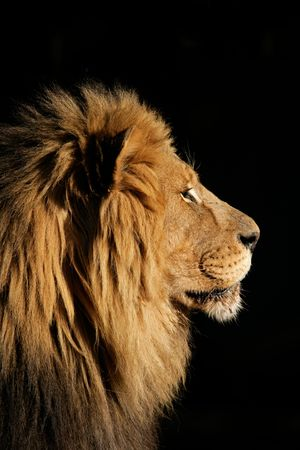 Side portrait of a big male African lion (Panthera leo), against a black background, South Africa photo