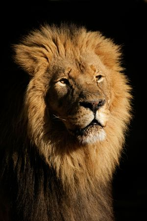lion face: Portrait of a big male African lion (Panthera leo), against a black background, South Africa