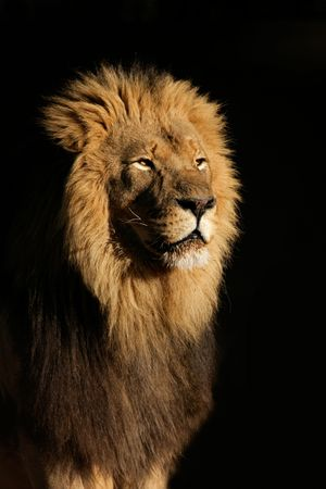 Portrait of a big male African lion (Panthera leo), against a black background, South Africa
