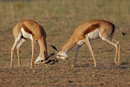 Two male springbok antelopes (Antidorcas marsupialis) fighting for territory, Kalahari desert, South Africa  photo