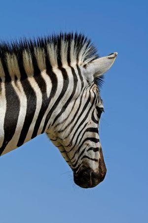 Portrait of a Plains (Burchells) Zebra (Equus quagga), Mokala National Park, South Africa  photo