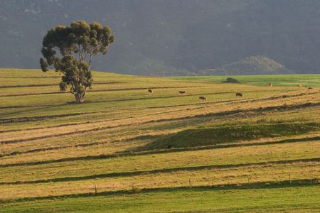 fenceline: Rural landscape with a large tree, pastures and grazing cattle, early morning  Stock Photo