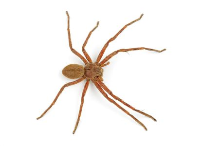 A hairy African rain spider (Palystes spp.) on white  photo