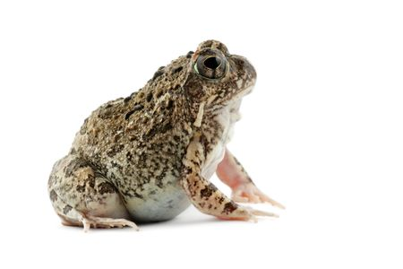 A southern African sand frog (Tomopterna cryptotis) on white Stock Photo - 2577171