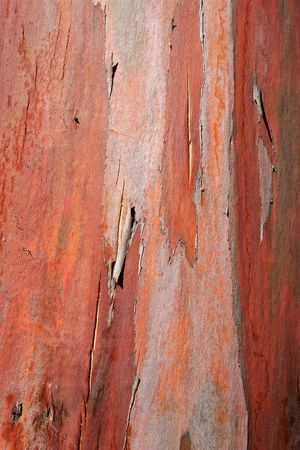 flaking: Close-up of the flaking bark of an Eucalyptus tree