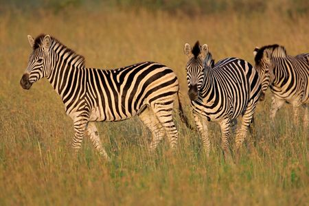 plains: Plains (Burchells) Zebras (Equus quagga), South Africa