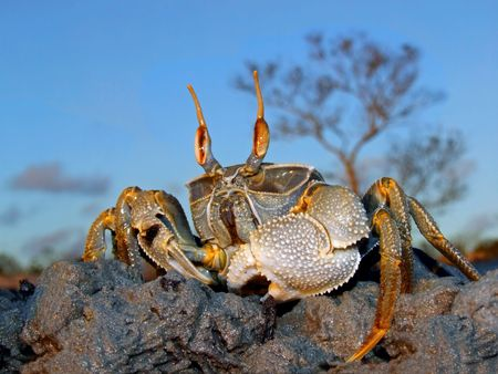 Mozambique: Ghost crab (Ocypode spp.) on coastal rocks, Mozambique, southern Africa Stock Photo