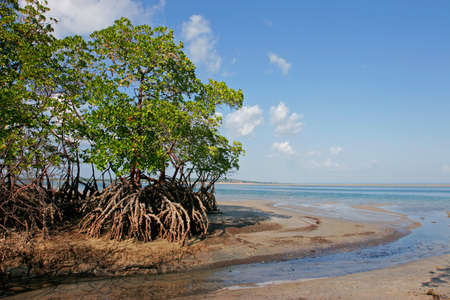 marsh plant: Mangrovie albero con la bassa marea, Vilanculos costiere santuario, Mozambico, Sud Africa