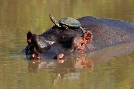 Hippopotamus (Hippopotamus amphibius) with terrapin on its back, Sabie-Sand nature reserve, South Africa Stock Photo - 2842471