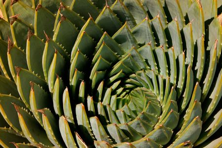 polyphylla: Close-up view of the leaves of a spiral aloe (Aloe polyphylla) , southern Africa