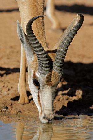 springbuck: Portrait of a springbok antelope (Antidorcas marsupialis) drinking water, Kalahari desert, South Africa