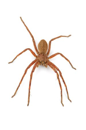 spp: A hairy African rain spider (Palystes spp.) on white
