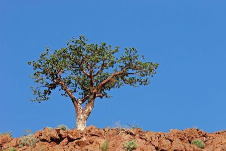 corkwood: A corkwood tree (Commiphora spp.) against a blue sky, Namibia, southern Africa