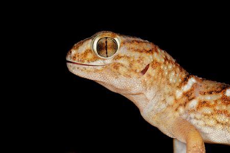 Portrait of a giant ground gecko (Chondrodactylus angulifer), Kalahari desert, South Africa Stock Photo - 2968944